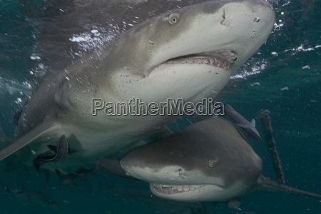 bahamas close up of lemon sharks