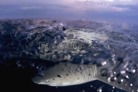 bahamas zitronenhai negaprion brevirostris in der