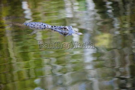 usa florida american alligator alligator mississippiensis
