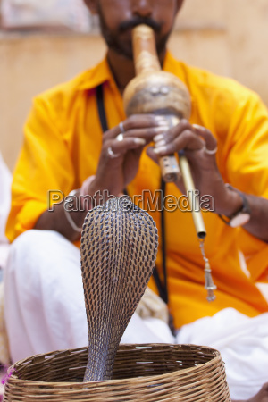 snake charming with an indian cobra