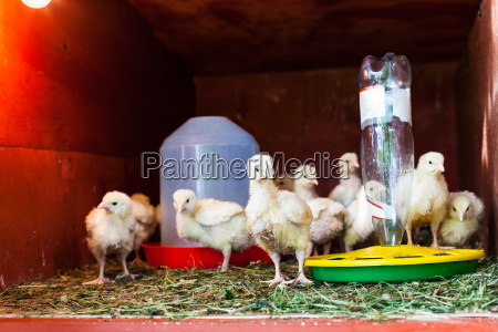 flock of chicks in chicken coop