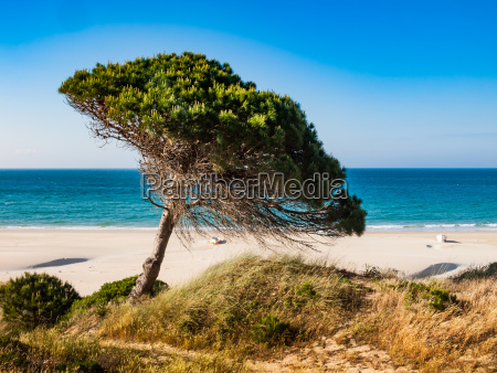 stone pine at the beach of