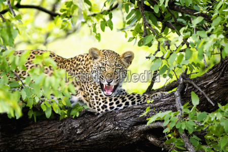leopard panthera pardus snarling in a