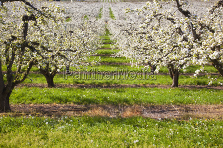apple blossom trees in the hood