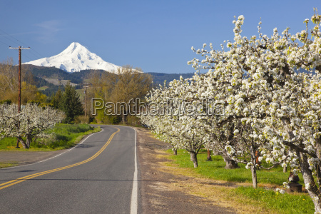 apple blossom trees along a road