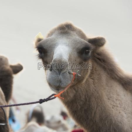 a camel with a peg through