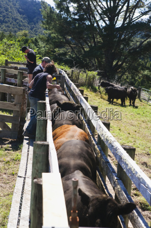 tourists participate in a cattle muster