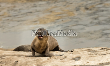 sea lion pup playing on the