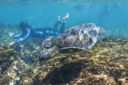 snorkeling with galapagos green sea turtle