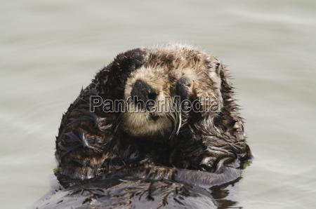 sea otter enhydra lutris grooming fur
