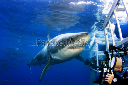 mexico great white shark carcharodon carcharias