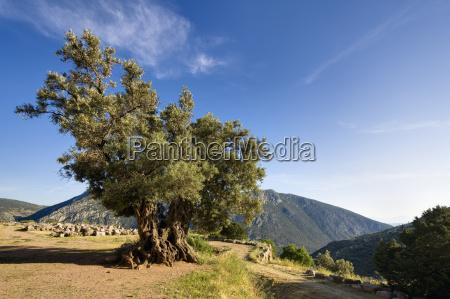 giant olive tree delphi greece