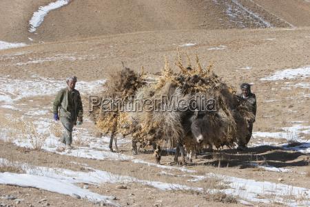 hazara farmers donkeys laden with