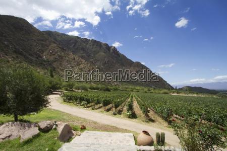 vineyard of finca las nubes winery