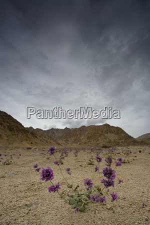 wildflowers growing in harsh conditions ladakh