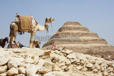 camel and step pyramid of djoser