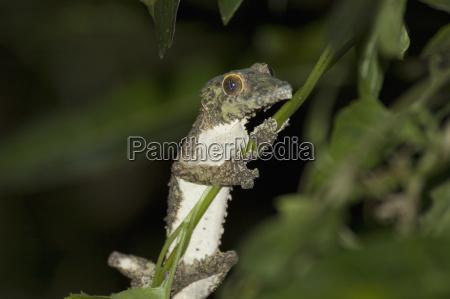 nocturnal gecko ranomafana national park fianarantsoa