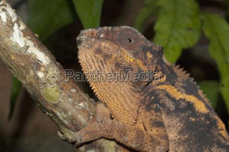 panther chameleon furcifer pardalis marozevo toamasina
