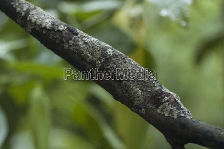 giant leaf tailed gecko uroplatus fimbriatus