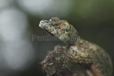 nocturnal gecko marozevo toamasina province madagascar