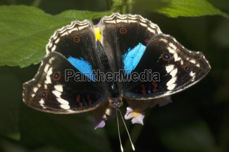 butterfly marozevo toamasina province madagascar
