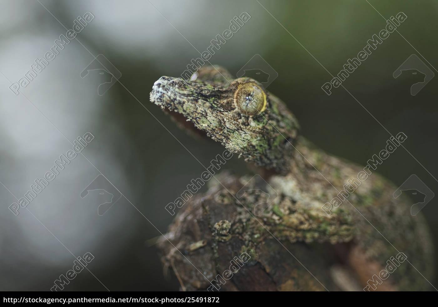 nocturnal, gecko, , marozevo, , toamasina, province, , madagascar - 25491872