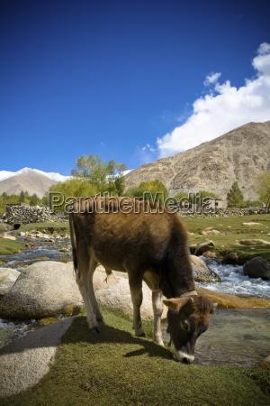 cattle grazing near a small stream