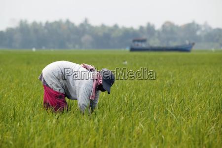 farmer working in rice fields where