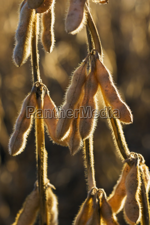 mature soybean pods hanging from a
