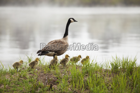 goose with goslings duluth minnesota united