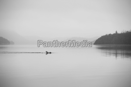 a lone swimmer swims across a