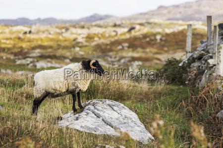 ram sheep on a rock in