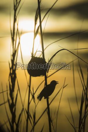 silhouette of weaverbird beside nest in