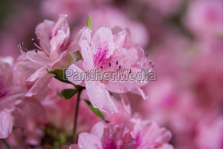 pericat hybrid azaleas mrs fisher rhododendron