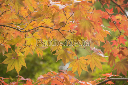 japanese maple in autumn colours uji