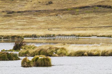 andean gulls chroicocephalus serranus by laguna