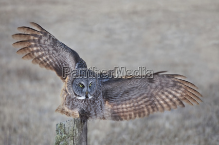 great grey owl strix nebulosa on