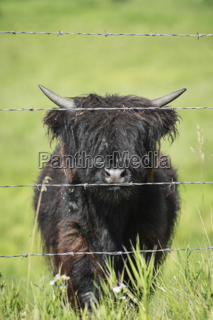 highland calf behind barbed wire fencing