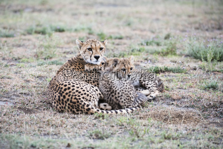 cheetah acinonyx jubatus cubs snuggle next