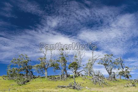 live and dead koa trees koa