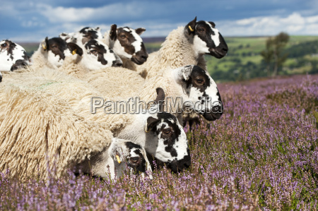 mule gimmer lambs out of dalesbred