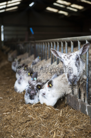 in lamb ewes in lambing shed