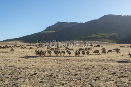south african sheep ovis aries roaming