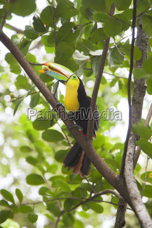 keel billed toucan ramphastos sulfuratus with