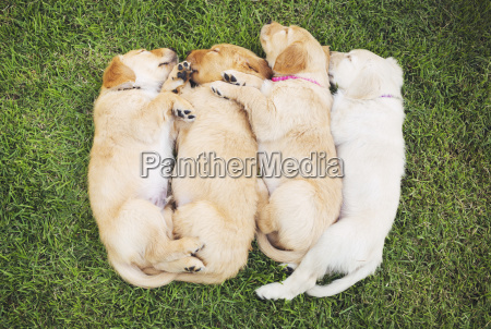 adorable group of golden retriever puppies