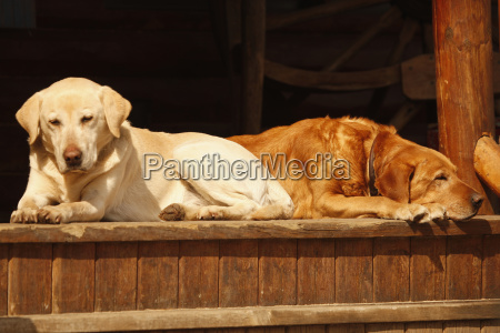 tired red lab with yellow lab