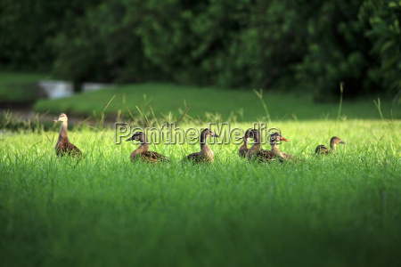 duck family in green grass by