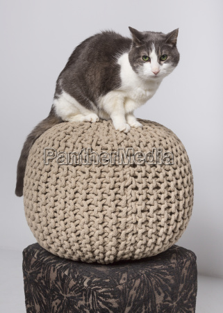 domestic short haired cat on a
