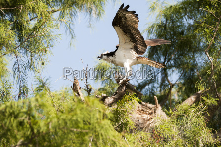 osprey pandion haliaetus with largemouth bass