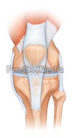 normal anatomy of the knee joint